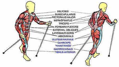 musculos caminar: